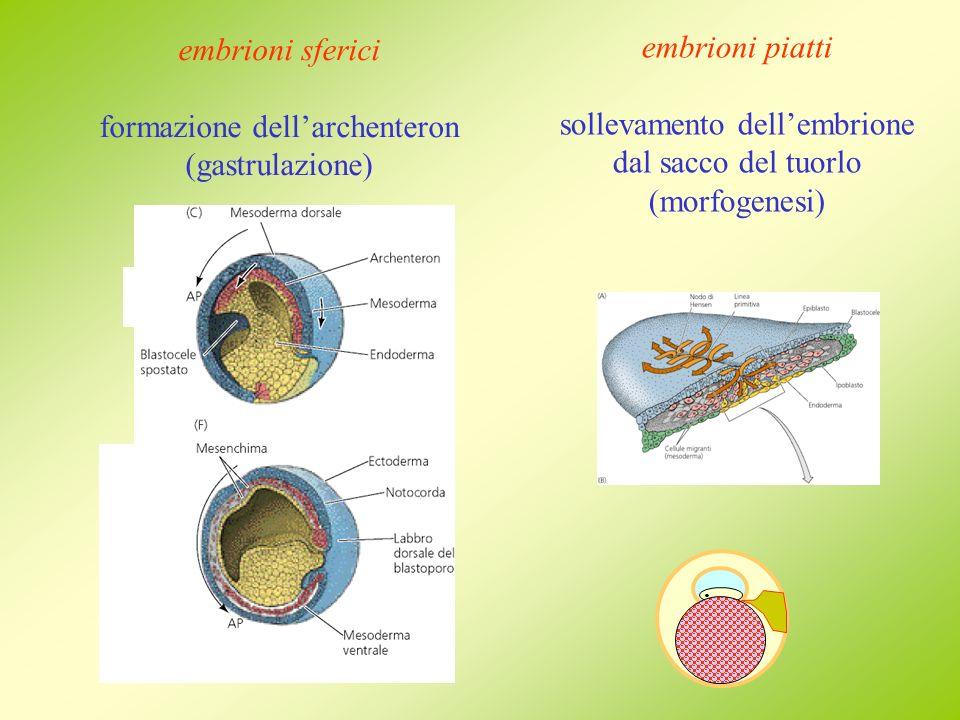 formazione dell'archenteron (gastrulazione) embrioni piatti