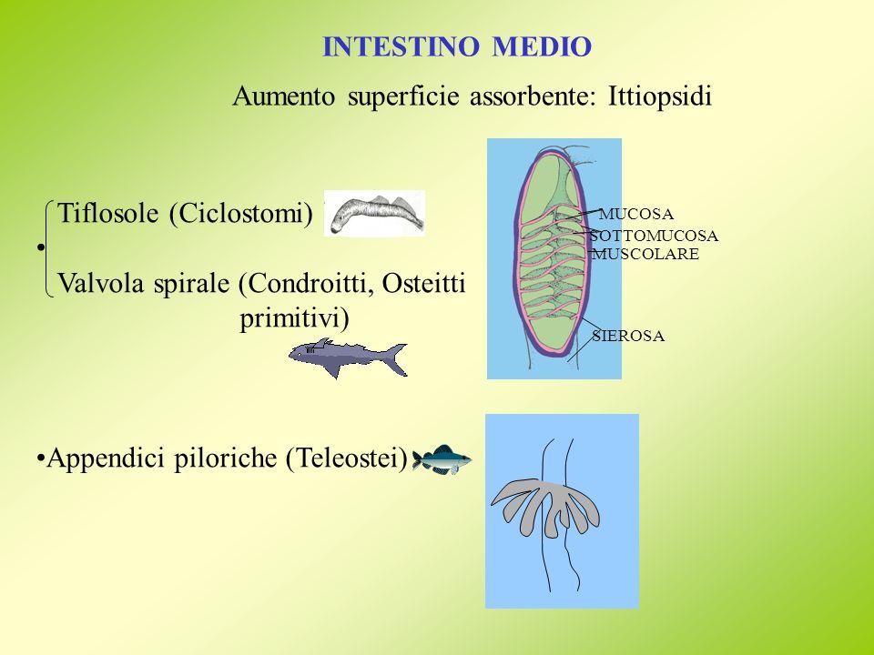 Aumento superficie assorbente: Ittiopsidi