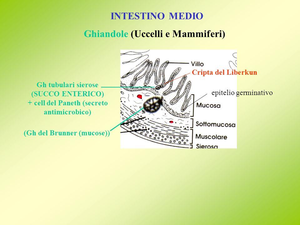 + cell del Paneth (secreto