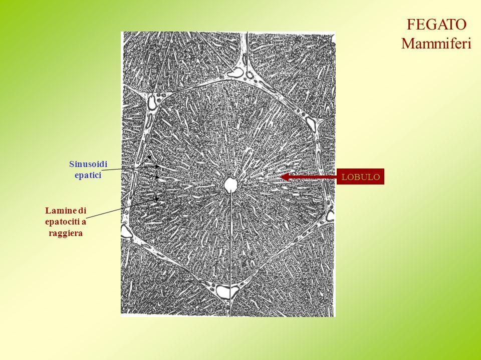 FEGATO Mammiferi Sinusoidi epatici LOBULO Lamine di epatociti a
