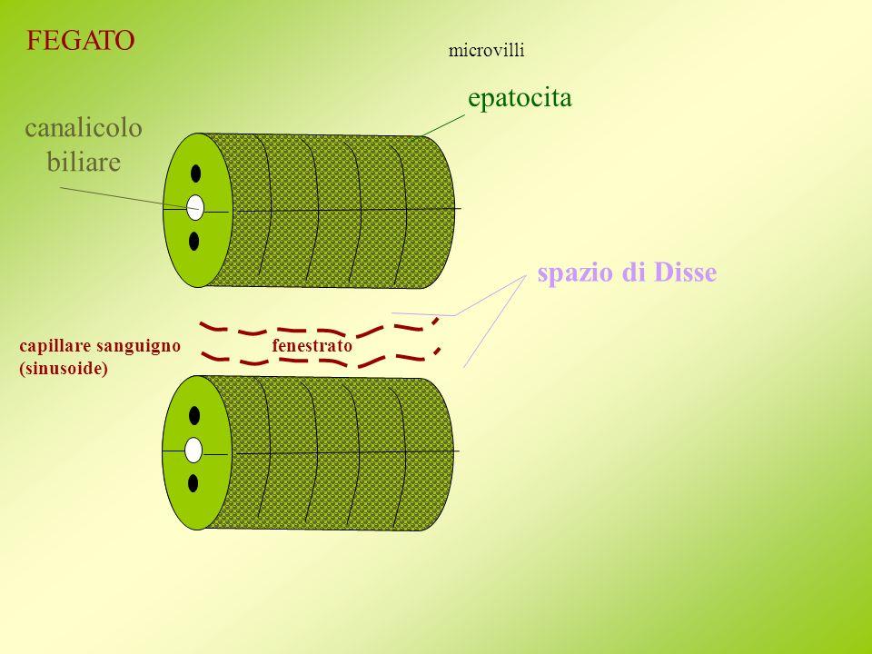 FEGATO epatocita canalicolo biliare spazio di Disse microvilli