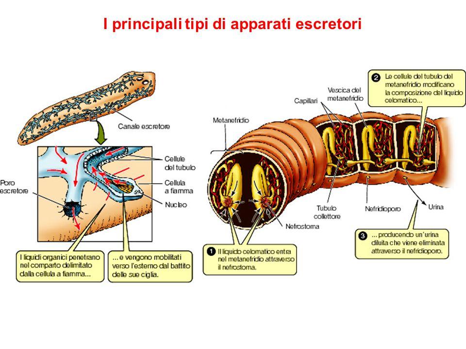 I principali tipi di apparati escretori