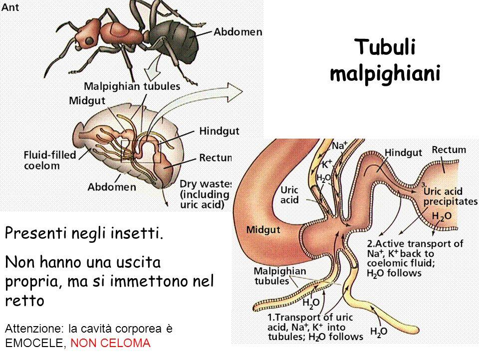 Tubuli malpighiani Presenti negli insetti.
