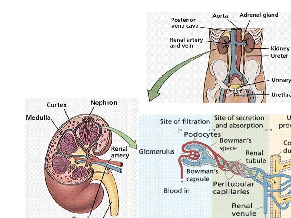 Osmoregolazione ed escrezione nei vertebrati