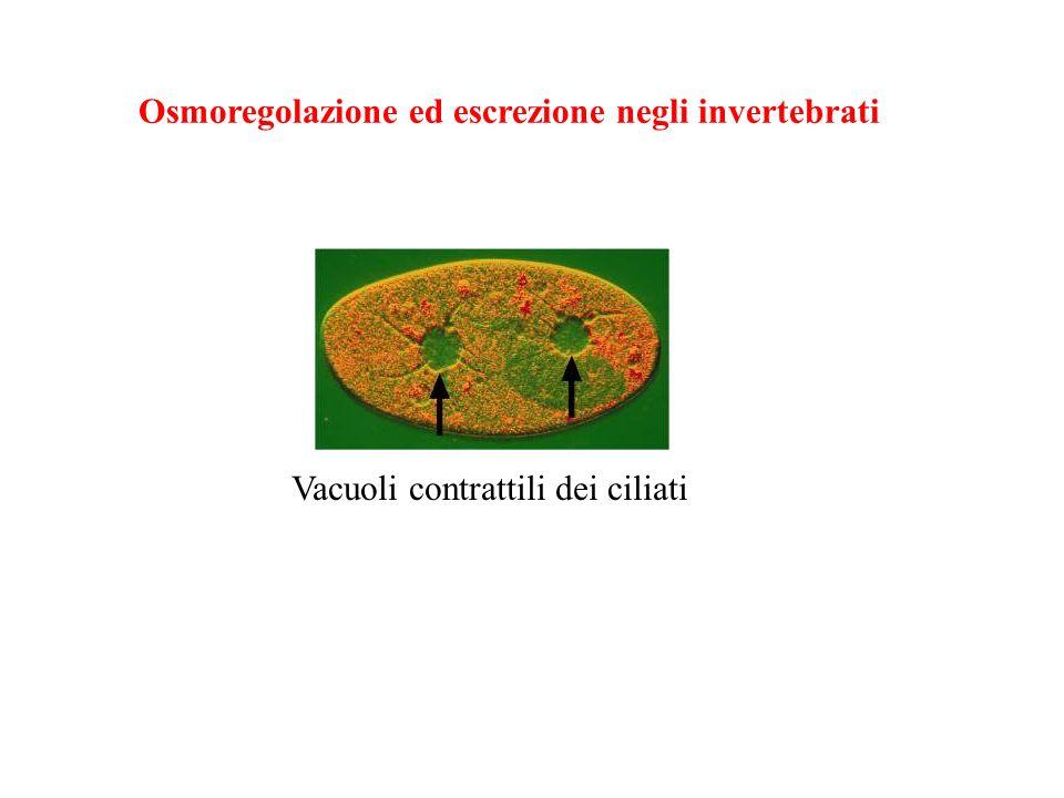 Osmoregolazione ed escrezione negli invertebrati