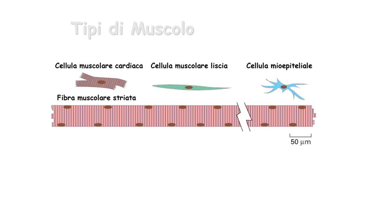 Tipi di Muscolo Cellula muscolare cardiaca Cellula muscolare liscia