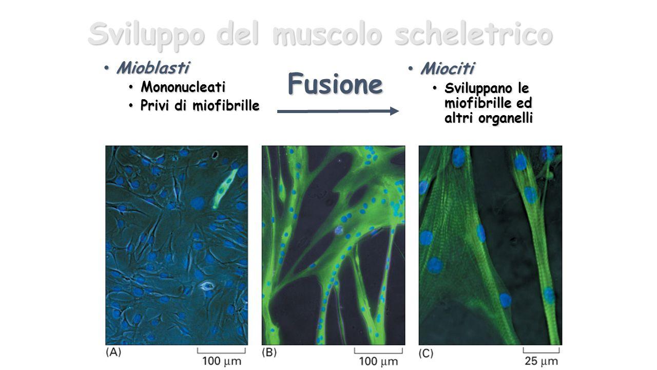 Sviluppo del muscolo scheletrico