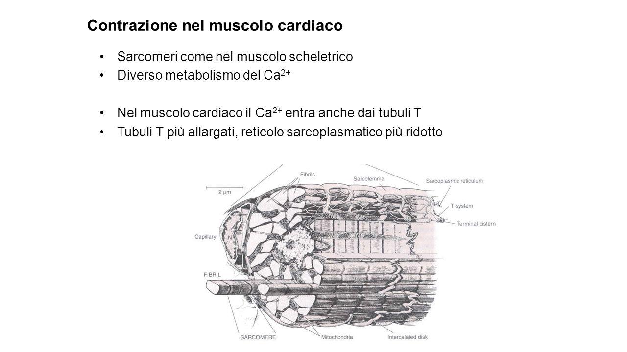 Contrazione nel muscolo cardiaco
