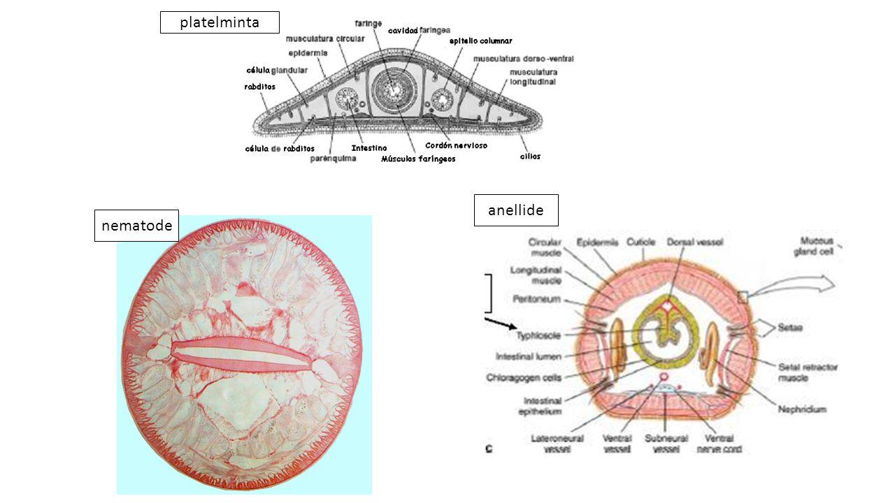 platelminta anellide nematode