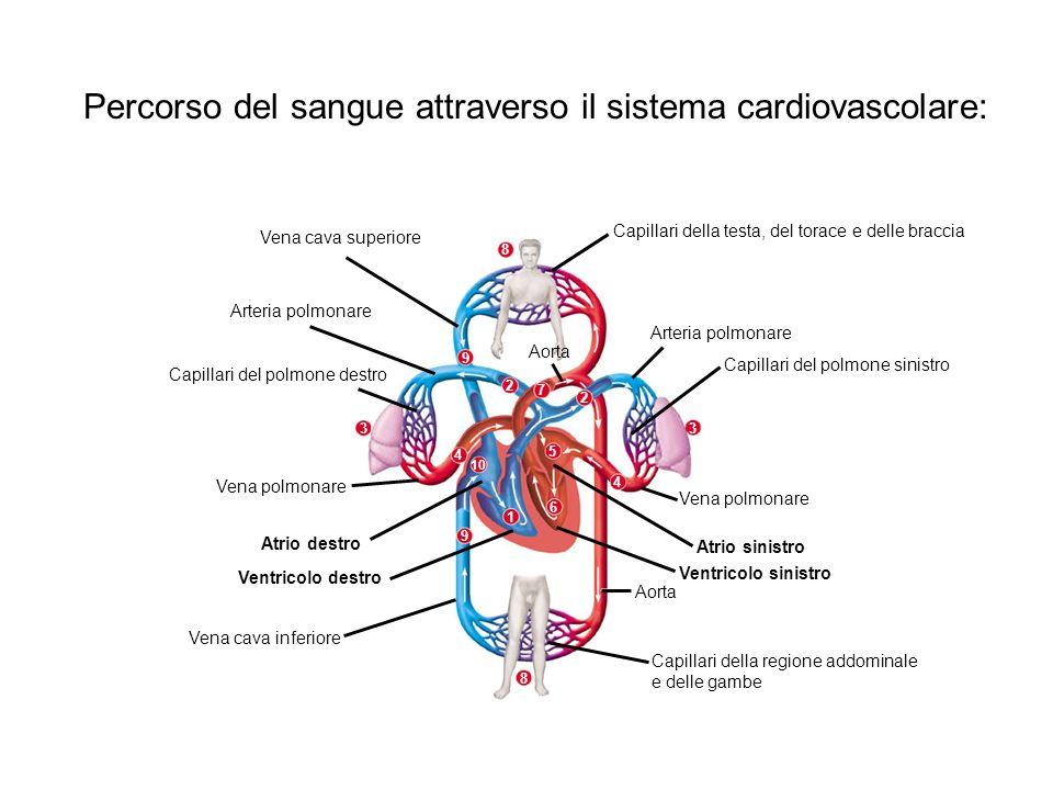 Percorso del sangue attraverso il sistema cardiovascolare: