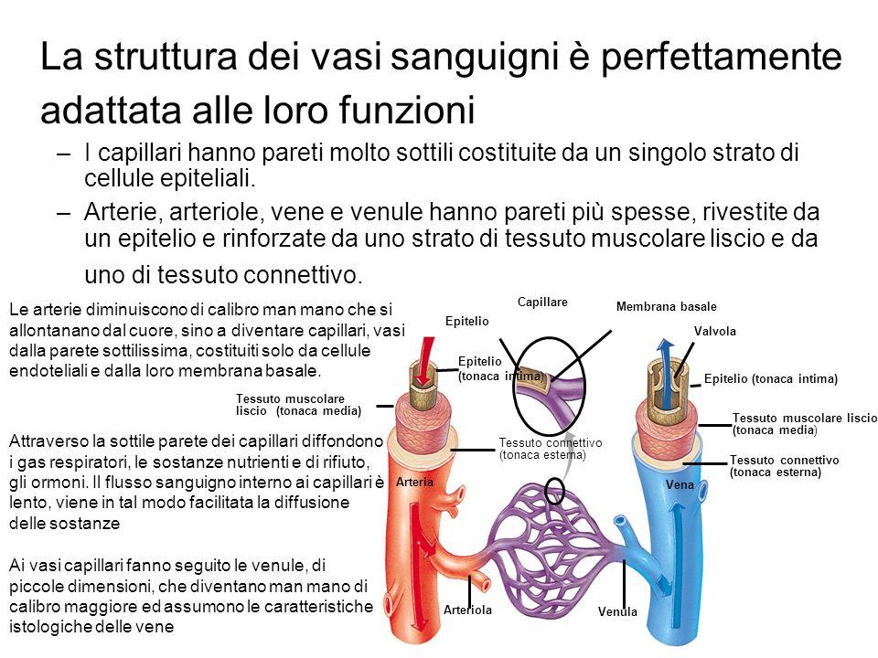 La struttura dei vasi sanguigni è perfettamente