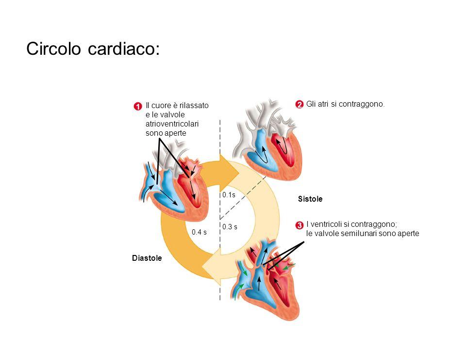 Circolo cardiaco: Il cuore è rilassato 2 Gli atri si contraggono. 1