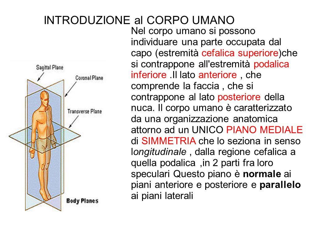 Introduzione al corpo umano ppt video online scaricare - Finestra che si apre sul lato superiore ...