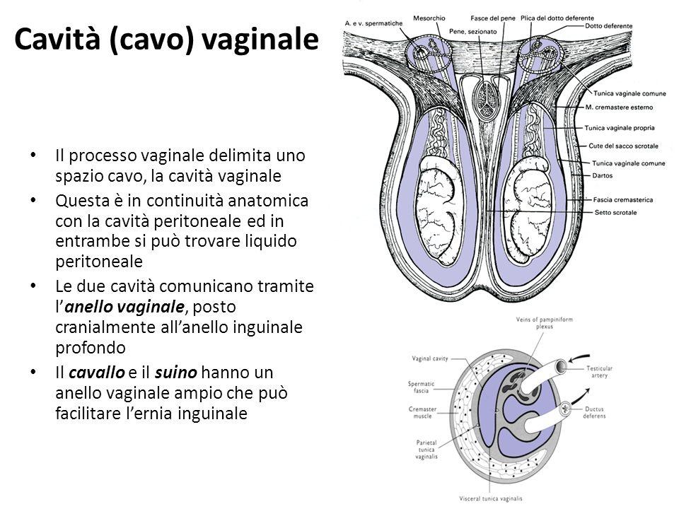 Cavità (cavo) vaginale