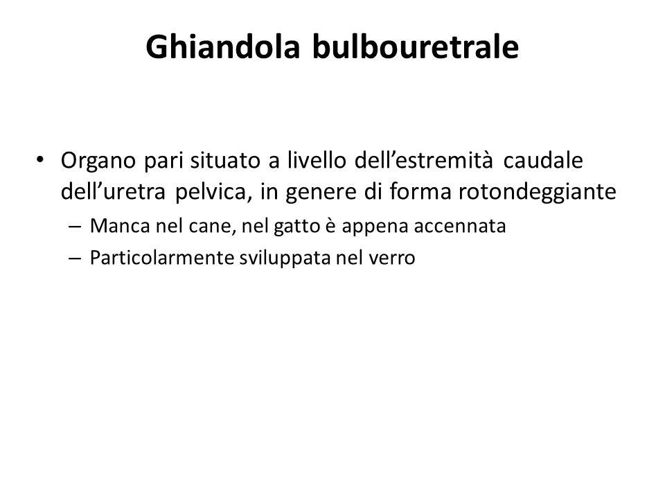 Ghiandola bulbouretrale