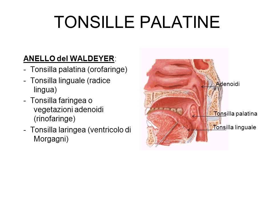TONSILLE PALATINE ANELLO del WALDEYER:
