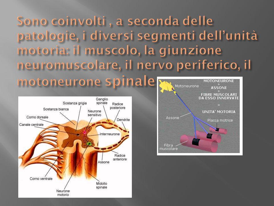 Sono coinvolti , a seconda delle patologie, i diversi segmenti dell'unità motoria: il muscolo, la giunzione neuromuscolare, il nervo periferico, il motoneurone spinale
