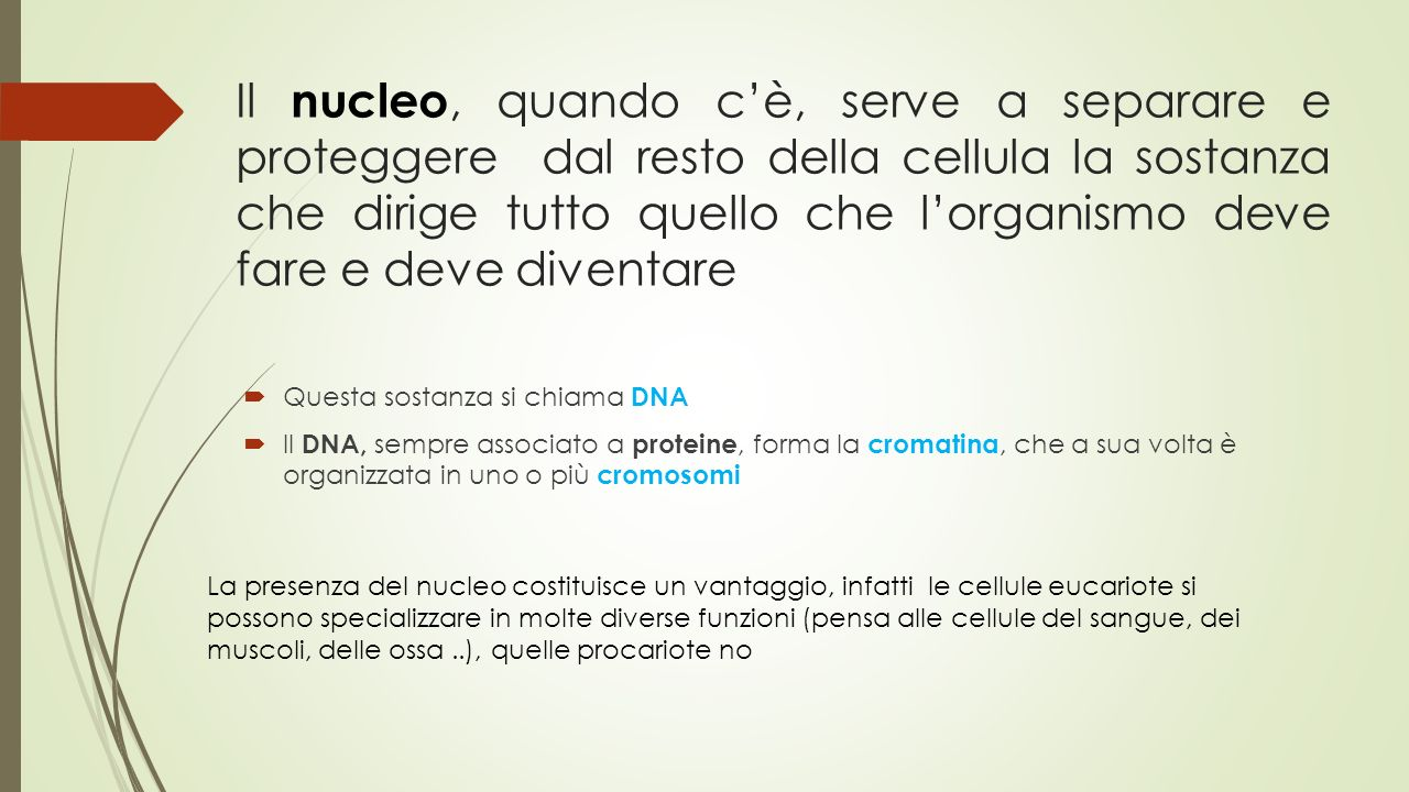 Il nucleo, quando c'è, serve a separare e proteggere dal resto della cellula la sostanza che dirige tutto quello che l'organismo deve fare e deve diventare