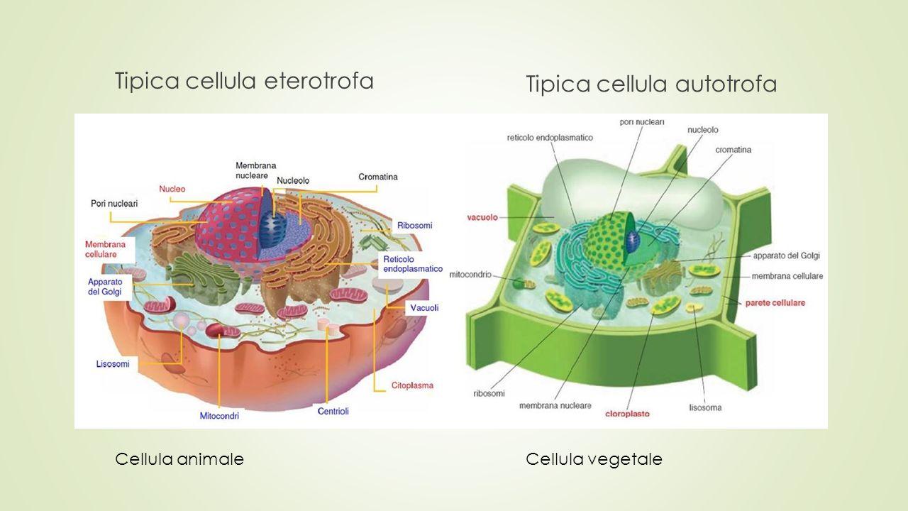 Tipica cellula eterotrofa Tipica cellula autotrofa