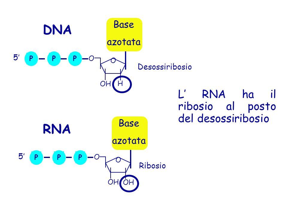 DNA RNA L' RNA ha il ribosio al posto del desossiribosio Base azotata