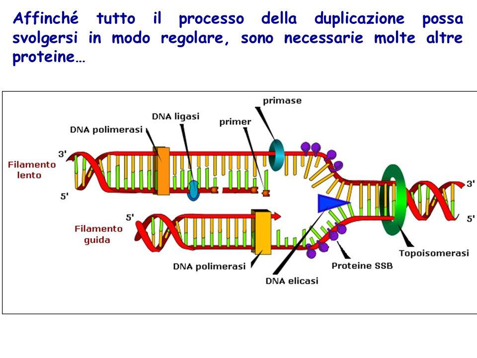 Affinché tutto il processo della duplicazione possa svolgersi in modo regolare, sono necessarie molte altre proteine…