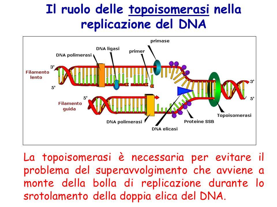 Il ruolo delle topoisomerasi nella replicazione del DNA