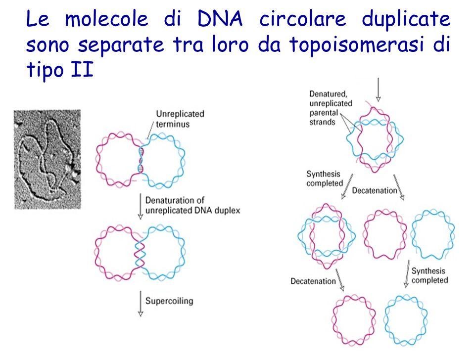 Le molecole di DNA circolare duplicate sono separate tra loro da topoisomerasi di tipo II