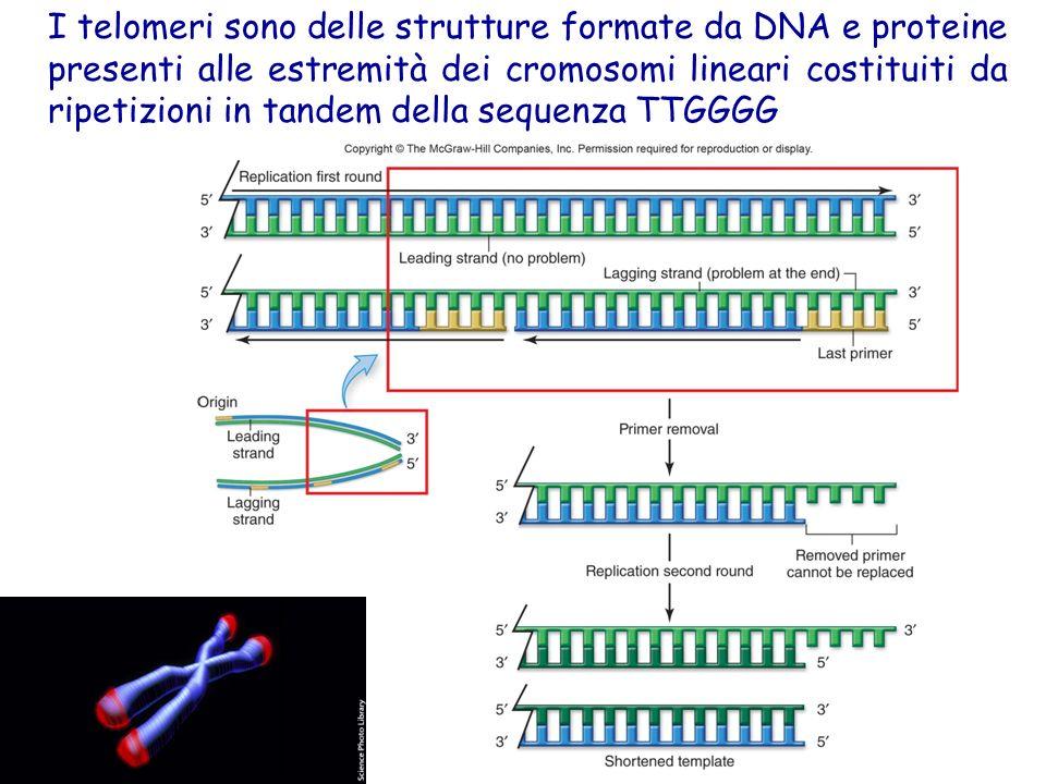 I telomeri sono delle strutture formate da DNA e proteine presenti alle estremità dei cromosomi lineari costituiti da ripetizioni in tandem della sequenza TTGGGG