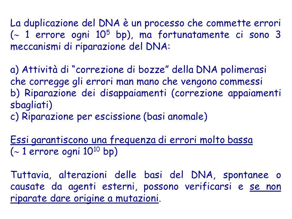 La duplicazione del DNA è un processo che commette errori ( 1 errore ogni 105 bp), ma fortunatamente ci sono 3 meccanismi di riparazione del DNA: