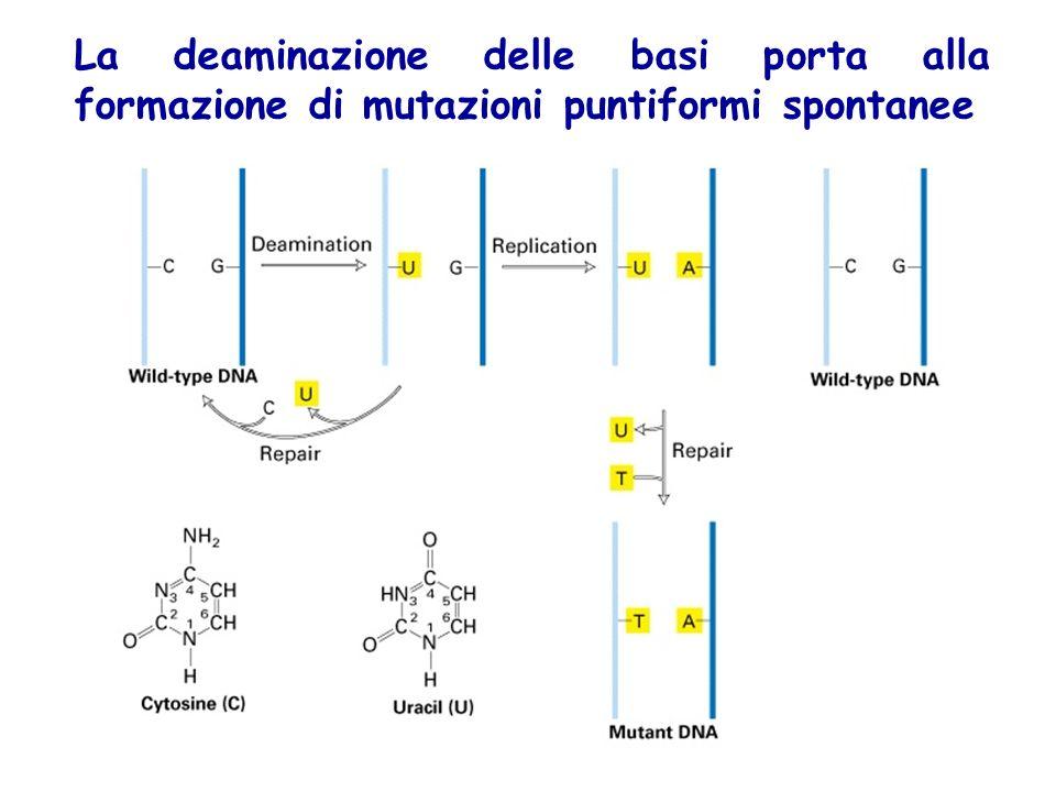 La deaminazione delle basi porta alla formazione di mutazioni puntiformi spontanee
