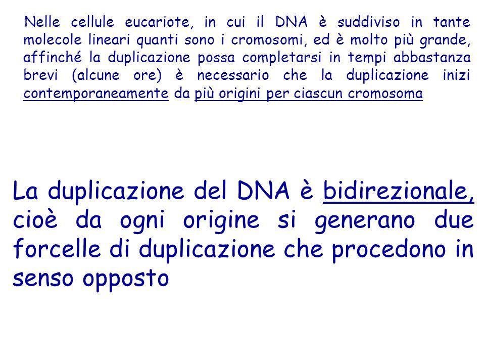 Nelle cellule eucariote, in cui il DNA è suddiviso in tante molecole lineari quanti sono i cromosomi, ed è molto più grande, affinché la duplicazione possa completarsi in tempi abbastanza brevi (alcune ore) è necessario che la duplicazione inizi contemporaneamente da più origini per ciascun cromosoma