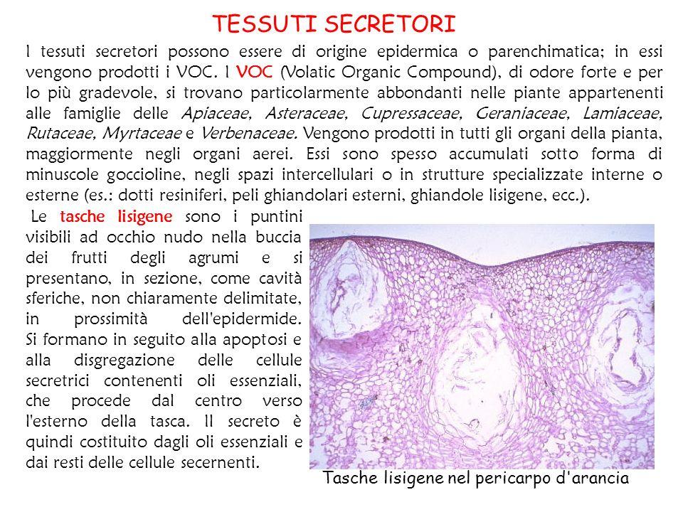 Tessuto fondamentale deriva dal meristema fondamentale e dai meristemi laterali e formato da - Che forma hanno le cellule dei diversi tessuti ...