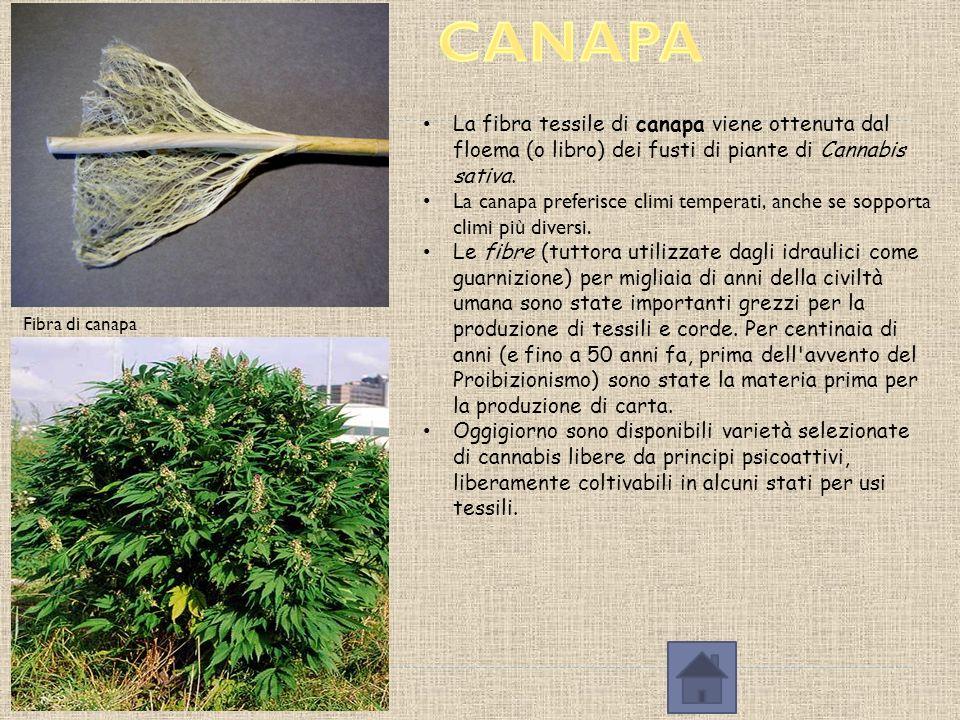 CANAPA La fibra tessile di canapa viene ottenuta dal floema (o libro) dei fusti di piante di Cannabis sativa.