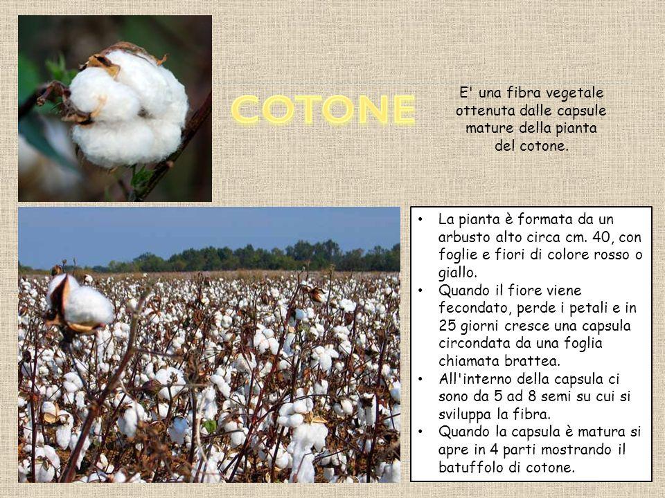 COTONE E una fibra vegetale ottenuta dalle capsule mature della pianta del cotone.