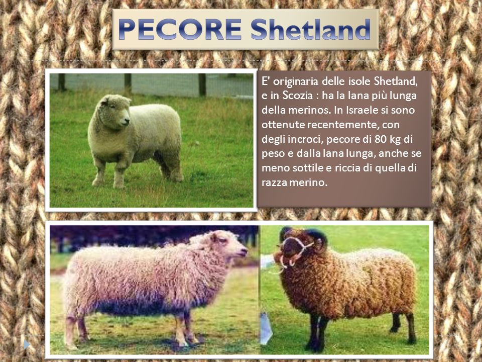 PECORE Shetland