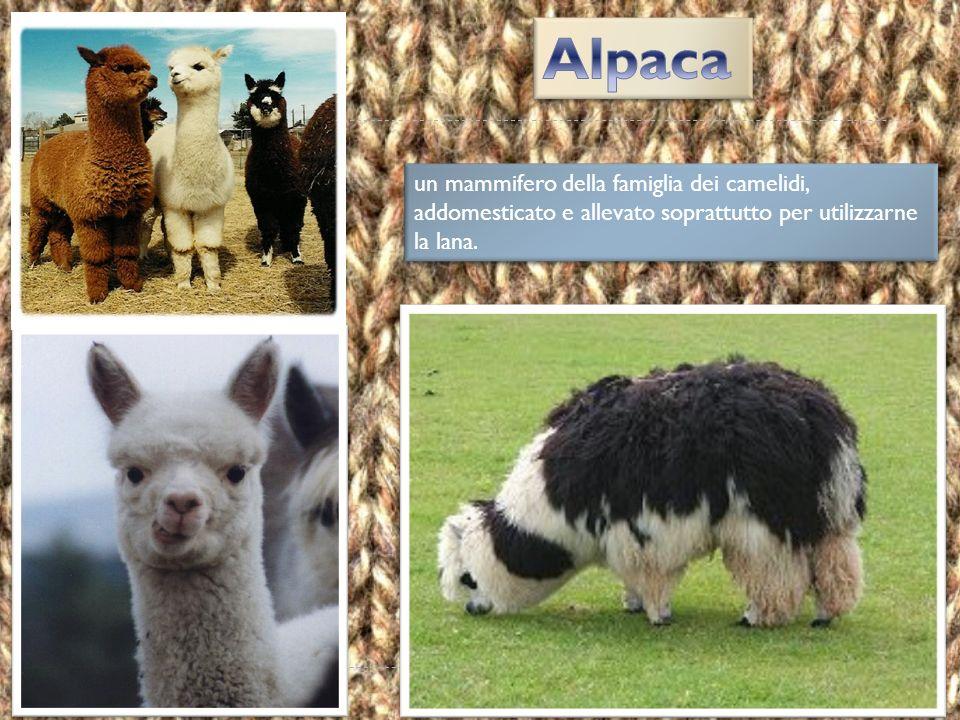 Alpaca un mammifero della famiglia dei camelidi, addomesticato e allevato soprattutto per utilizzarne la lana.