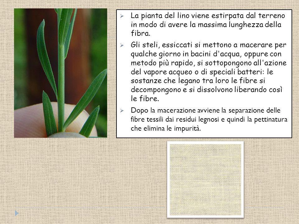 La pianta del lino viene estirpata dal terreno in modo di avere la massima lunghezza della fibra.
