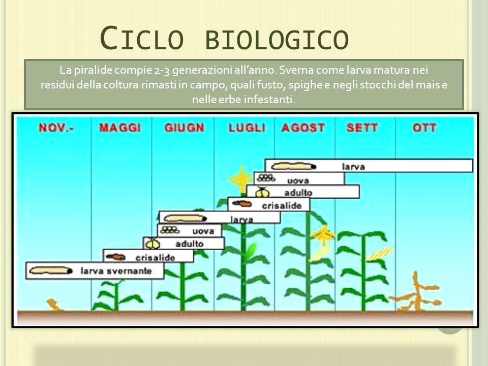 Ciclo biologico La piralide compie 2-3 generazioni all'anno. Sverna come larva matura nei.