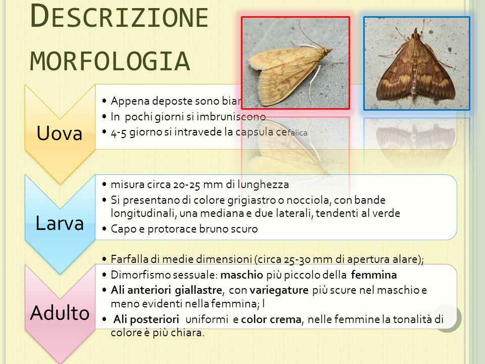 Descrizione morfologia