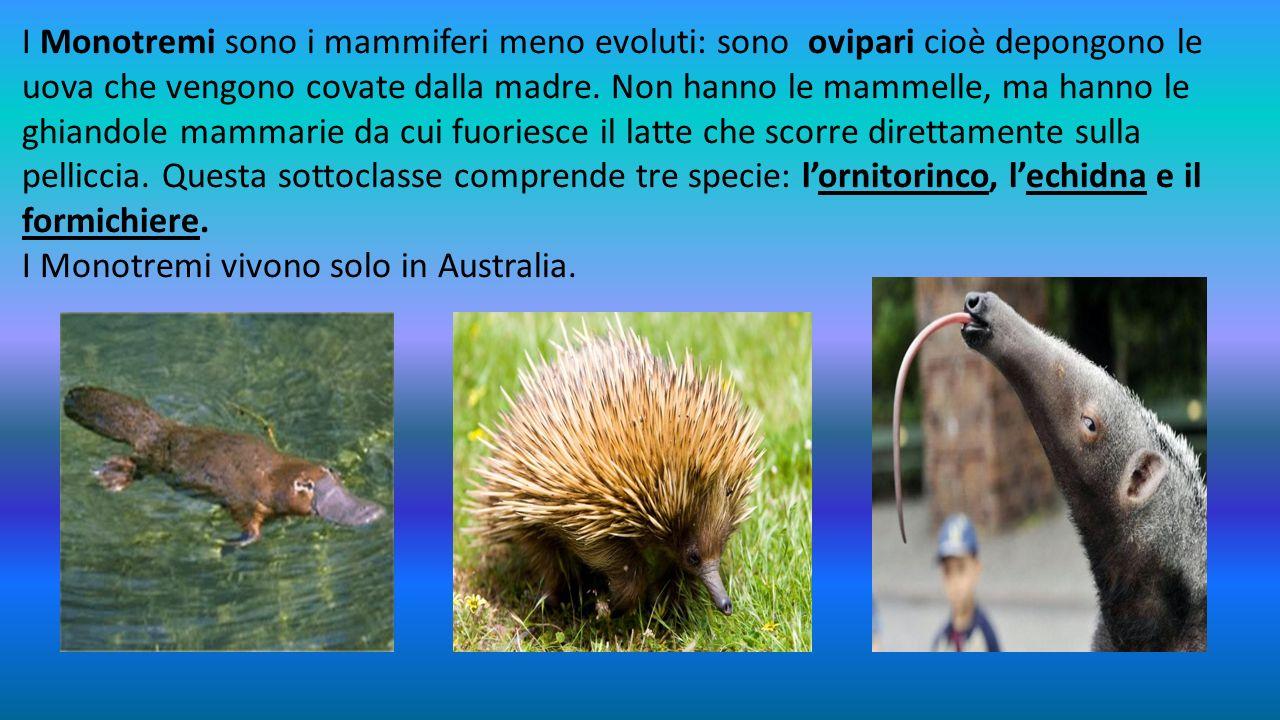 I Monotremi sono i mammiferi meno evoluti: sono ovipari cioè depongono le uova che vengono covate dalla madre. Non hanno le mammelle, ma hanno le ghiandole mammarie da cui fuoriesce il latte che scorre direttamente sulla pelliccia. Questa sottoclasse comprende tre specie: l'ornitorinco, l'echidna e il formichiere.