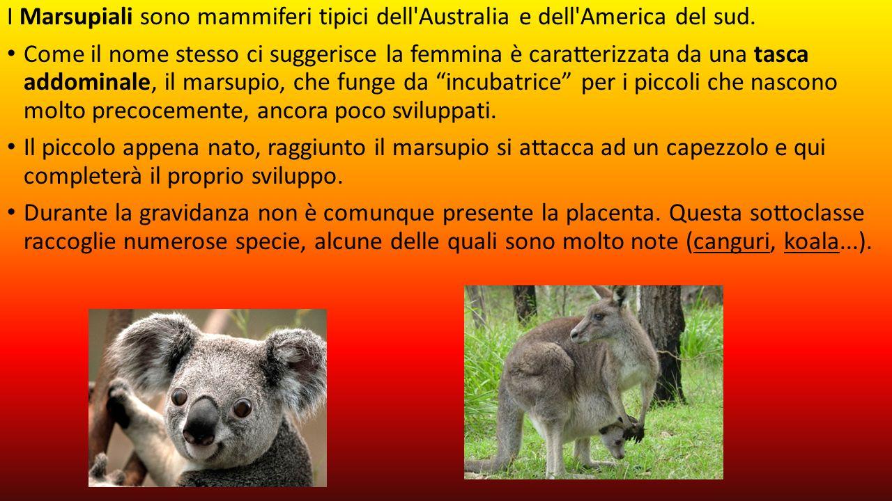 I Marsupiali sono mammiferi tipici dell Australia e dell America del sud.