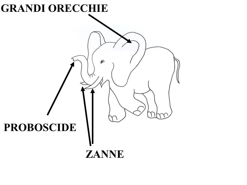 GRANDI ORECCHIE PROBOSCIDE ZANNE