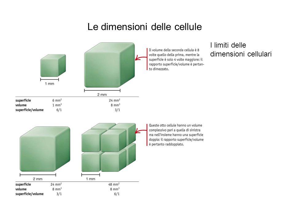 Le dimensioni delle cellule