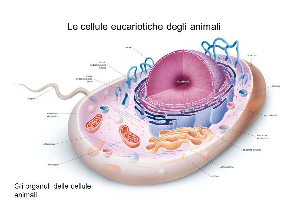 Le cellule eucariotiche degli animali