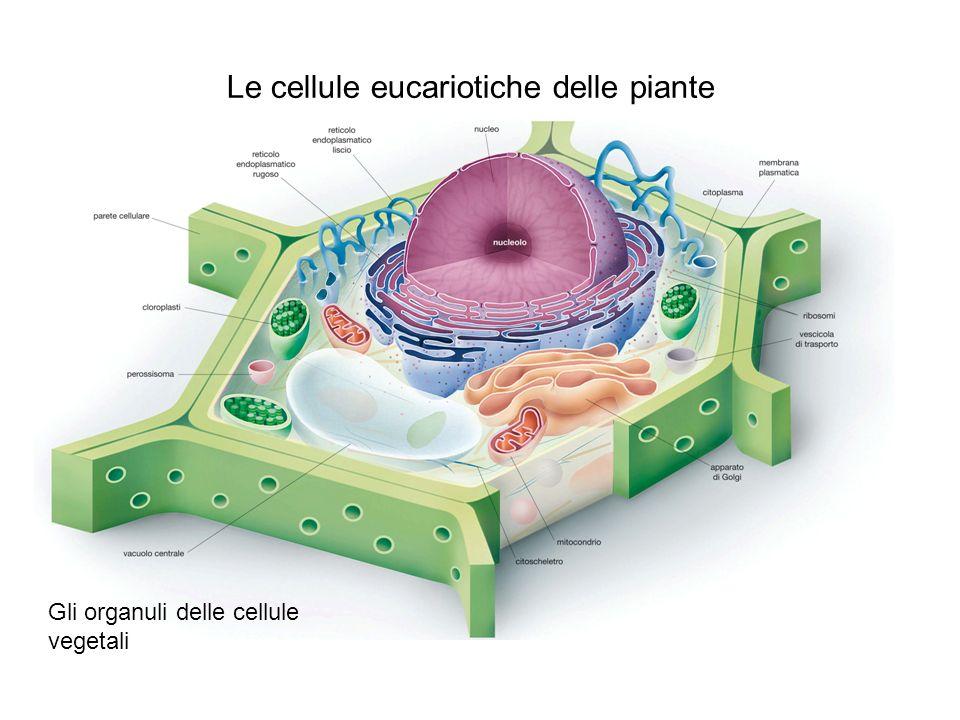 Le cellule eucariotiche delle piante