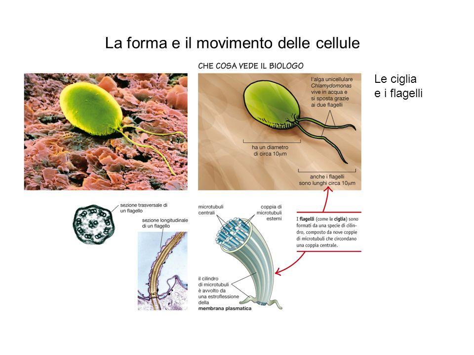 La forma e il movimento delle cellule