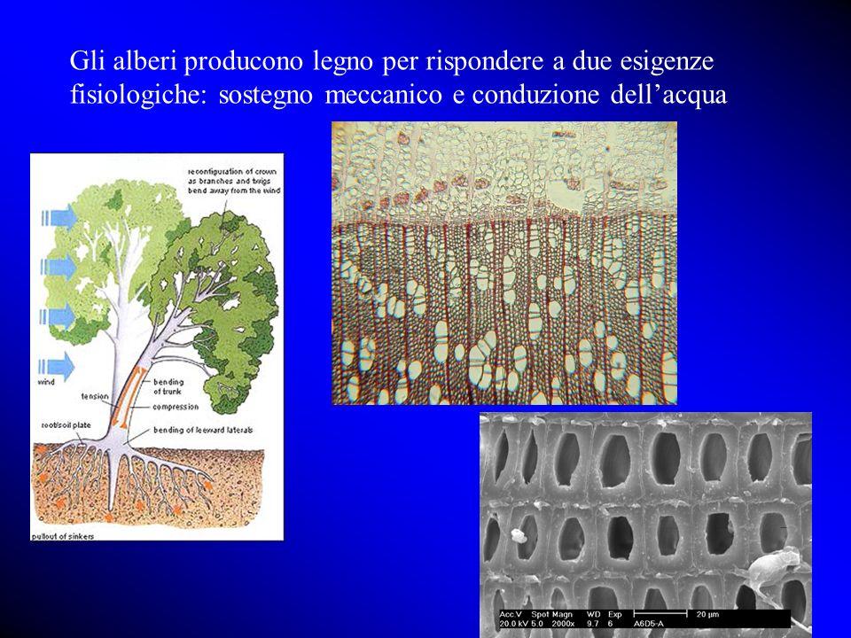 Gli alberi producono legno per rispondere a due esigenze fisiologiche: sostegno meccanico e conduzione dell'acqua