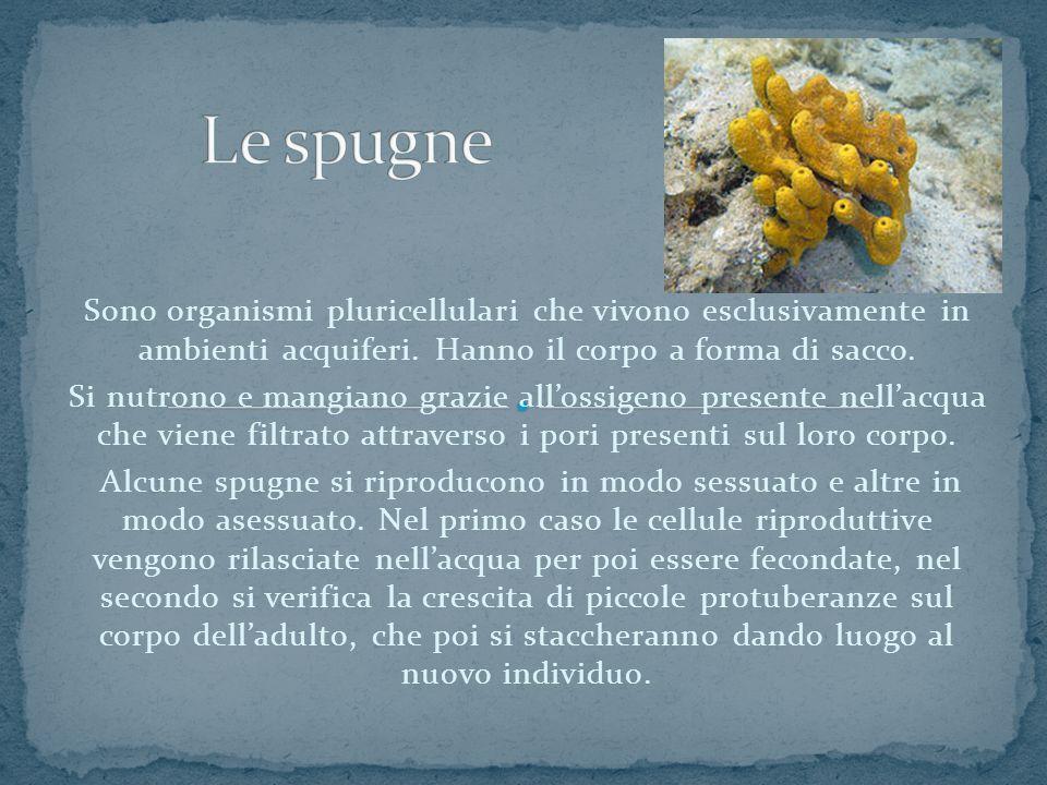 Le spugne Sono organismi pluricellulari che vivono esclusivamente in ambienti acquiferi. Hanno il corpo a forma di sacco.