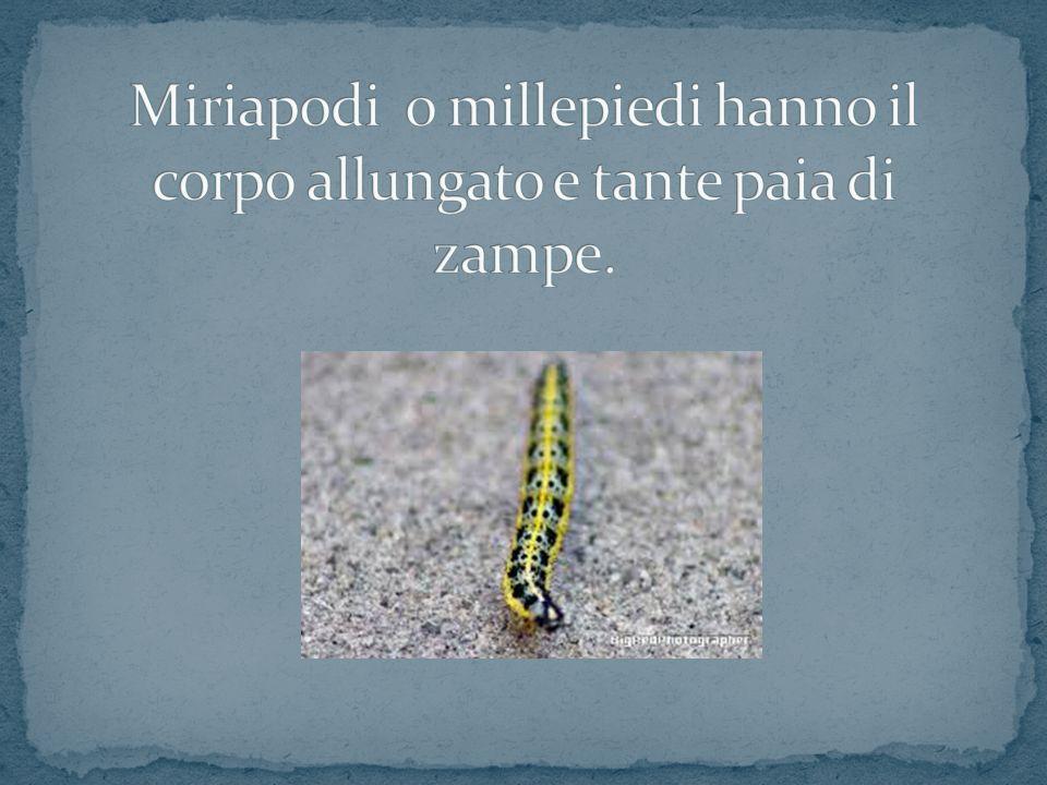 Miriapodi o millepiedi hanno il corpo allungato e tante paia di zampe.