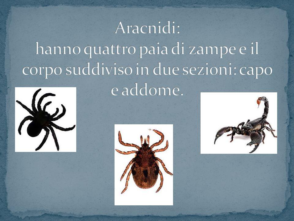 Aracnidi: hanno quattro paia di zampe e il corpo suddiviso in due sezioni: capo e addome.